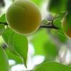 梅の実が見下ろす