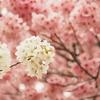 お花見散歩:新宿御苑でのんびりとお花見散歩