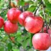 りんごの種類は何種類あるの?旬の時期や味と産地などのまとめ