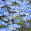 今年のネモフィラは早咲き?COOLPIX P900で撮る国営ひたち海浜公園