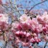 長弓寺と桜