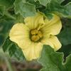 ウリ科野菜の花と実2