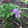 ハーブ、5月6月の開花