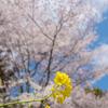 今年も桜をみることができる幸せ