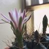 翠晃冠と九頭龍の花が咲いた