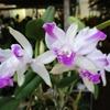 「まつこの庭」・早春のラン(3)カトレア