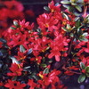 4月18日誕生日の花と花言葉歌句