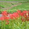 秋分の日に咲く「彼岸花」