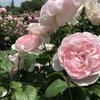 まだ買える素敵なバラの品種 新苗 2018年5月26日時点