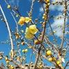 春の便りを届けてくれる カワイイ黄色いお花