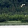 夏の印旛沼を飛ぶアジサシ