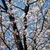 続さくら三昧「霞桜」