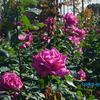 澄んだ空 香り豊かに 秋のバラ