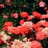 一生分の薔薇が見られる「京成バラ園」に行ってきた!