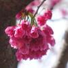今日の景色 03/16 寒緋桜