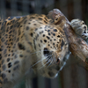 アムールヒョウ Panthera pardus orientalis