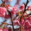 伊豆土肥桜