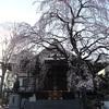 多摩川桜百景 -94. 金蔵院-