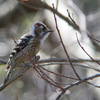 小啄木鳥(コゲラ)♂