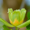 チューリップが咲いた