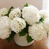 アナベルを切り花にする水揚げ方法は湯揚げが成功率高いです!!