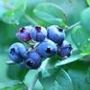 眼精疲労の予防と回復に効果がありますように。アヲハタの美味しいジャム『まるごと果実 ブルーベリー』に期待を込めて。