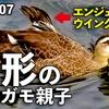 0807【カルガモ親子の悲劇】エンジェル・ウイング奇形・怪我・置き去り・迷子・・・野鳥にパンをあげないで【今日撮り野鳥動画まとめ】身近な生き物語