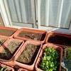 ミニ白菜の撤収と土の再生