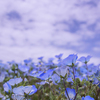 Nemophila filling all the hills in blue!!!!!! I went to Hitachi Seaside Park.