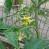 トマトは第一花房を取り除き、一番花も摘果する!?