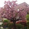 防災訓練と桜まつりを開催しました
