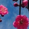 早くも梅の花