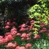 【八千代】彼岸花を見に村上緑地公園へ