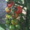 ミニトマトとアサガオ