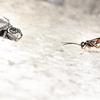 ミイロツメボソクモバチ