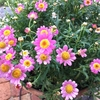 ボンザマーガレットの開花、第二段