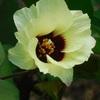 万葉植物園の綿の花(7月下旬~9月上旬)