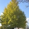 平和大通り、銀杏の木があります。平和公園から平和大橋渡りましたらありますよ。