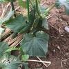 キュウリ収穫と枝豆の植え付け
