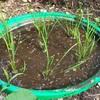バケツ稲作り 稲トープに田植えをしました!