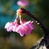 木場公園の河津桜マクロレンズで撮ってみた