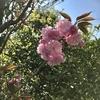 子ら遊び来てふうわりと八重桜