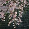 福井城址お堀端順化小学校前の枝垂れ桜