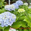 紫陽花とペチュニアと青じそ