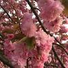 八重桜が満開♪
