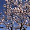 【アラ還さんぽ】天気が良いので早咲きの桜その2。これが玉縄桜です。