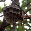 アシナガバチの巣と・・・ヘビ^^;
