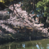 2019年 鹿沼公園 さくら 開花情報 (3月24日)!