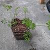 スイートキャロットならキッチン栽培可能 しかも水耕で