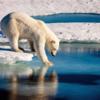 温暖化でアザラシ猟ができなくなり、北極グマの出産率は5分の1に